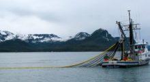Headbang ¿Es verdad que las orcas se están agrupando para defenderse de los pescadores?