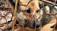 Headbang La mayor matanza de perros para consumo humano llega a su fin