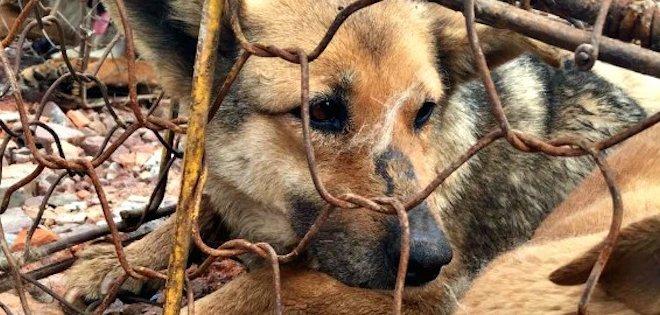 La mayor matanza de perros para consumo humano llega a su fin