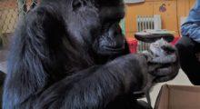 Headbang La historia de Koko, la Gorila amante de los gatos