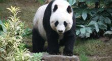 Headbang El mundo y su obsesión por los pandas
