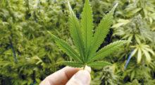 Headbang Proponen legalizar la Marihuana en zonas turísticas de México
