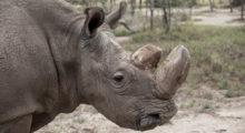 Headbang Muere el último rinoceronte blanco del norte macho del mundo